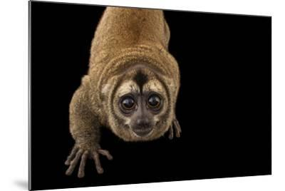 A Nancy Ma's Night Monkey, Aotus Nancymaae, at the Dallas World Aquarium-Joel Sartore-Mounted Photographic Print