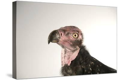 A Critically Endangered Pondicherry Vulture, Sarcogyps Calvus, at the Palm Beach Zoo-Joel Sartore-Stretched Canvas Print