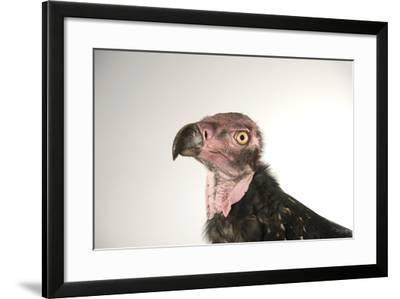 A Critically Endangered Pondicherry Vulture, Sarcogyps Calvus, at the Palm Beach Zoo-Joel Sartore-Framed Photographic Print