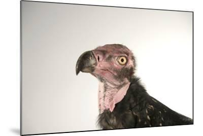 A Critically Endangered Pondicherry Vulture, Sarcogyps Calvus, at the Palm Beach Zoo-Joel Sartore-Mounted Photographic Print