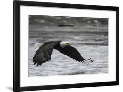 Portrait of a Bald Eagle, Haliaeetus Leucocephalus, Flying Low over the Chilkat River-Bob Smith-Framed Photographic Print