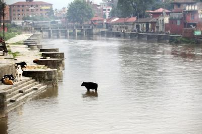 A Cow Stands in the Bagmati River Running Through Kathmandu-Jill Schneider-Framed Photographic Print
