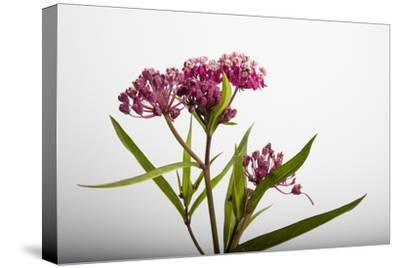 A Swamp Milkweed Flower, Asclepias Incarnata-Joel Sartore-Stretched Canvas Print