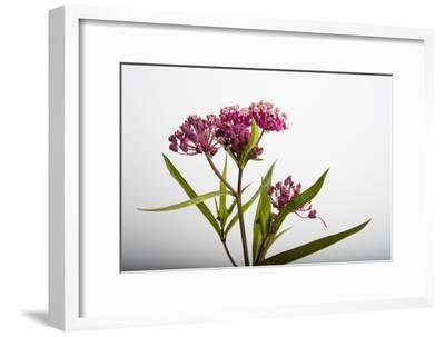 A Swamp Milkweed Flower, Asclepias Incarnata-Joel Sartore-Framed Photographic Print