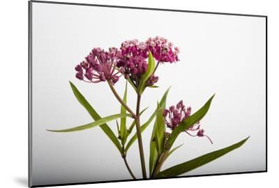 A Swamp Milkweed Flower, Asclepias Incarnata-Joel Sartore-Mounted Photographic Print