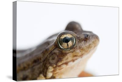 An Endangered Southern Mountain Yellow-Legged Frog, Rana Muscosa-Joel Sartore-Stretched Canvas Print