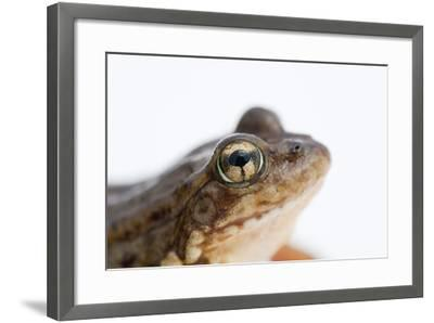 An Endangered Southern Mountain Yellow-Legged Frog, Rana Muscosa-Joel Sartore-Framed Photographic Print