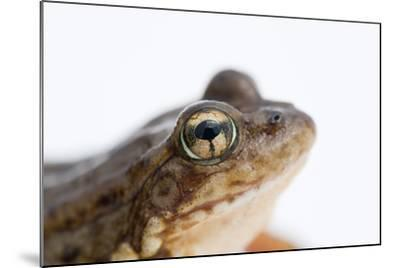 An Endangered Southern Mountain Yellow-Legged Frog, Rana Muscosa-Joel Sartore-Mounted Photographic Print