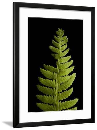 A Lady Fern, Athyrium Filix-Femina-Joel Sartore-Framed Photographic Print