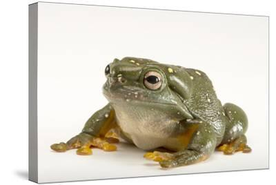 A Magnificent Tree Frog, Litoria Splendida, at the Wild Life Sydney Zoo-Joel Sartore-Stretched Canvas Print
