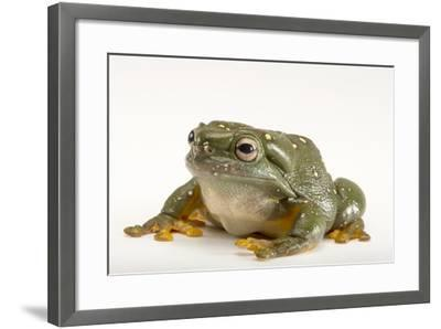 A Magnificent Tree Frog, Litoria Splendida, at the Wild Life Sydney Zoo-Joel Sartore-Framed Photographic Print