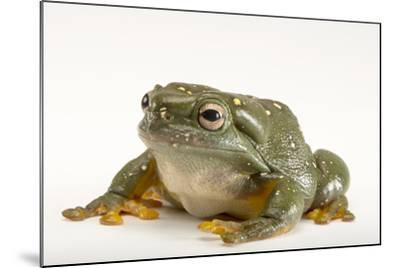 A Magnificent Tree Frog, Litoria Splendida, at the Wild Life Sydney Zoo-Joel Sartore-Mounted Photographic Print