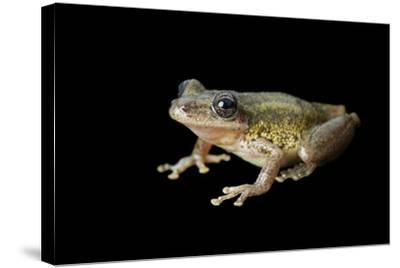 A Red Snouted Treefrog, Scinax Ruber-Joel Sartore-Stretched Canvas Print