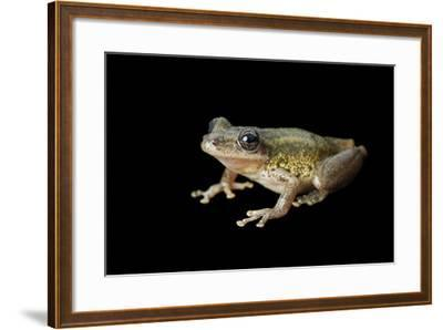 A Red Snouted Treefrog, Scinax Ruber-Joel Sartore-Framed Photographic Print