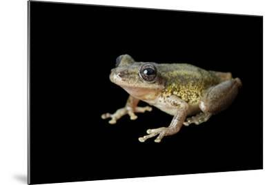 A Red Snouted Treefrog, Scinax Ruber-Joel Sartore-Mounted Photographic Print