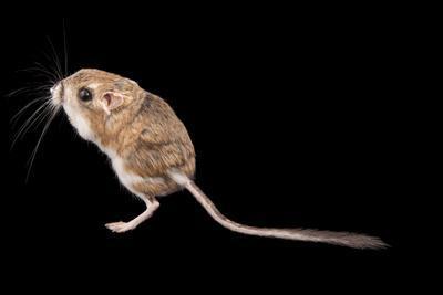 A Desert Kangaroo Rat, Dipodomys Deserti, at Omaha's Henry Doorly Zoo and Aquarium-Joel Sartore-Framed Photographic Print