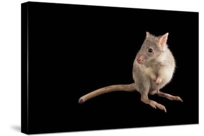 A Rufous Rat-Kangaroo, Aepyprymnus Rufescens, at the Wild Life Sydney Zoo-Joel Sartore-Stretched Canvas Print