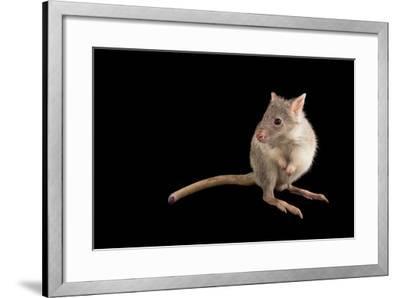 A Rufous Rat-Kangaroo, Aepyprymnus Rufescens, at the Wild Life Sydney Zoo-Joel Sartore-Framed Photographic Print