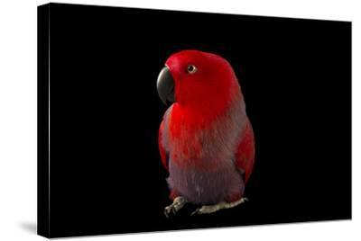 A Female Northern Eclectus Parrot, Eclectus Roratus Vosmaeri, at the Palm Beach Zoo-Joel Sartore-Stretched Canvas Print