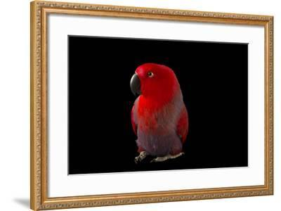 A Female Northern Eclectus Parrot, Eclectus Roratus Vosmaeri, at the Palm Beach Zoo-Joel Sartore-Framed Photographic Print