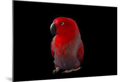 A Female Northern Eclectus Parrot, Eclectus Roratus Vosmaeri, at the Palm Beach Zoo-Joel Sartore-Mounted Photographic Print