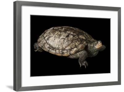 A False Map Turtle, Graptemys Pseudogeographica-Joel Sartore-Framed Photographic Print