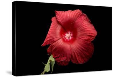 A Hibiscus Flower, Malvoideae Hibisceae-Joel Sartore-Stretched Canvas Print