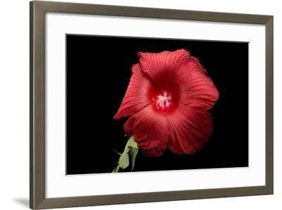 A Hibiscus Flower, Malvoideae Hibisceae-Joel Sartore-Framed Photographic Print