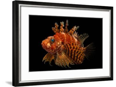 A Fuzzy Dwarf Lionfish, Dendrochirus Brachypterus, at Omaha's Henry Doorly Zoo and Aquarium-Joel Sartore-Framed Photographic Print