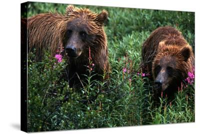 Grizzly Bears, Ursus Arctos-Cagan Sekercioglu-Stretched Canvas Print