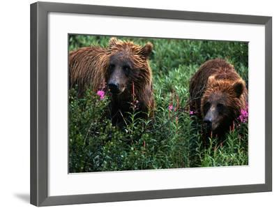 Grizzly Bears, Ursus Arctos-Cagan Sekercioglu-Framed Photographic Print