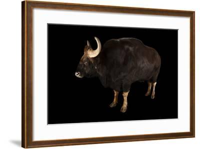 A Gaur, Bos Gaurus, at the Omaha Zoo's Wildlife Safari Park-Joel Sartore-Framed Photographic Print