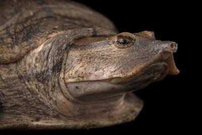 Aubry's Flapshell Turtle, Cycloderma Aubryi-Joel Sartore-Framed Photographic Print