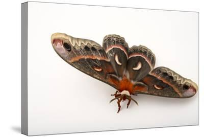 A Cecropia Moth, Hyalophora Cecropia, at the Minnesota Zoo-Joel Sartore-Stretched Canvas Print