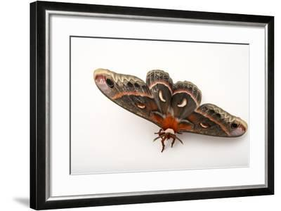 A Cecropia Moth, Hyalophora Cecropia, at the Minnesota Zoo-Joel Sartore-Framed Photographic Print