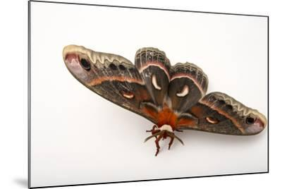 A Cecropia Moth, Hyalophora Cecropia, at the Minnesota Zoo-Joel Sartore-Mounted Photographic Print