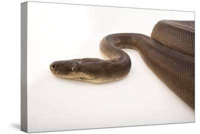 An Olive Python, Liasis Olivaceous, at the Wild Life Sydney Zoo-Joel Sartore-Stretched Canvas Print