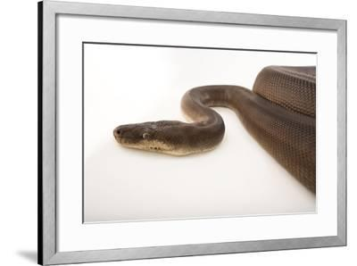 An Olive Python, Liasis Olivaceous, at the Wild Life Sydney Zoo-Joel Sartore-Framed Photographic Print