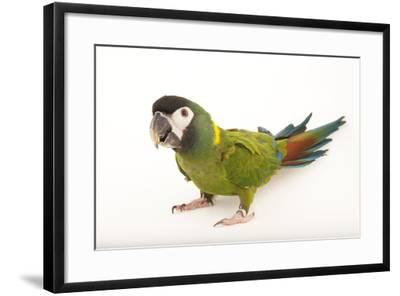 A Yellow-Collared Macaw, Ara Auricollis, at Omaha's Henry Doorly Zoo and Aquarium-Joel Sartore-Framed Photographic Print