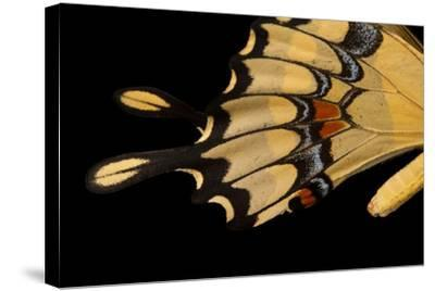 The Wing of a Giant Swallowtail Butterfly, Papilio Cresphontes, at the Lincoln Children's Zoo-Joel Sartore-Stretched Canvas Print