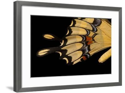 The Wing of a Giant Swallowtail Butterfly, Papilio Cresphontes, at the Lincoln Children's Zoo-Joel Sartore-Framed Photographic Print