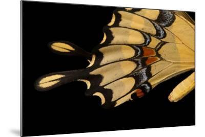 The Wing of a Giant Swallowtail Butterfly, Papilio Cresphontes, at the Lincoln Children's Zoo-Joel Sartore-Mounted Photographic Print