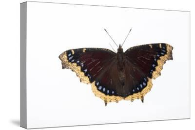A Mourning Cloak Butterfly, Nymphalis Antiopa, at the Minnesota Zoo-Joel Sartore-Stretched Canvas Print