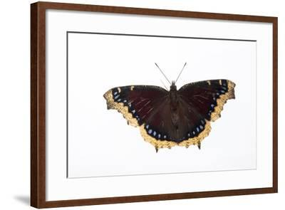 A Mourning Cloak Butterfly, Nymphalis Antiopa, at the Minnesota Zoo-Joel Sartore-Framed Photographic Print