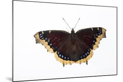 A Mourning Cloak Butterfly, Nymphalis Antiopa, at the Minnesota Zoo-Joel Sartore-Mounted Photographic Print