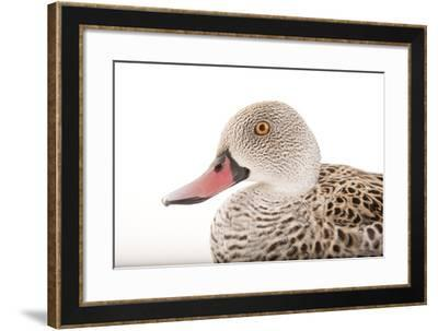 A Cape Teal, Anas Capensis, Omaha's Henry Doorly Zoo and Aquarium-Joel Sartore-Framed Photographic Print