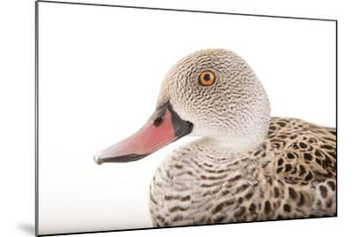 A Cape Teal, Anas Capensis, Omaha's Henry Doorly Zoo and Aquarium-Joel Sartore-Mounted Photographic Print