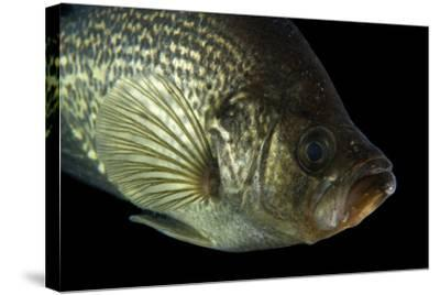 A Black Crappie, Pomoxis Nigromaculatus, at Gavins Point National Fish  Hatchery and Aquarium Photographic Print by Joel Sartore | Art com