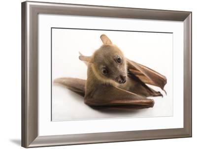 A Lesser Short-Nosed Fruit Bat, Cynopterus Brachyotis, at the Lubee Bat Conservancy-Joel Sartore-Framed Photographic Print