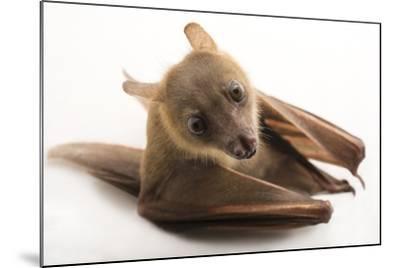 A Lesser Short-Nosed Fruit Bat, Cynopterus Brachyotis, at the Lubee Bat Conservancy-Joel Sartore-Mounted Photographic Print